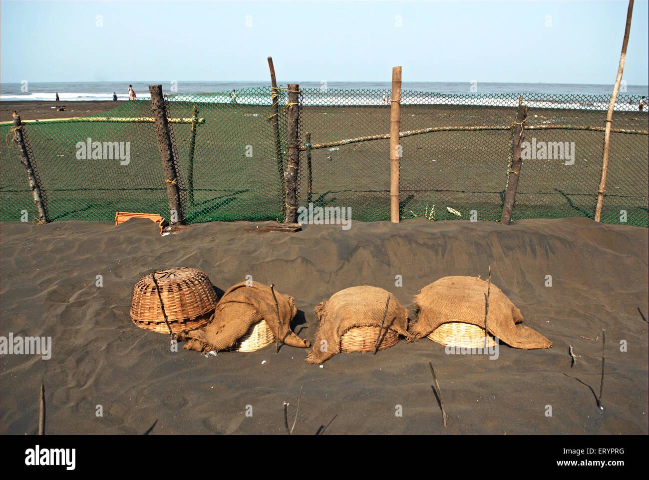 Olive turtle eggs buried under sand for hatching in coasTaj village Velas Ratnagiri  ; Maharashtra  ; India 26 April - Stock Image