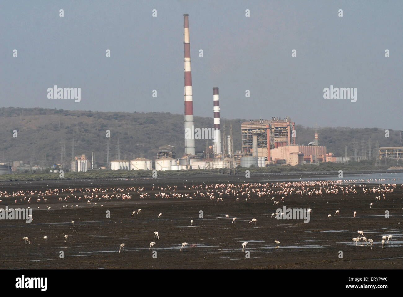 Birds ; pink lesser flamingos arrive in polluted refineries ; Bombay Mumbai ; Maharashtra ; India - Stock Image