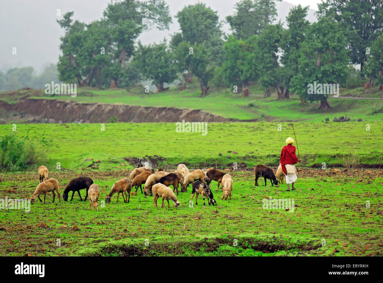 Shepherd with sheep grazing ; Shahapur ; Thane ; Maharashtra ; India 4 July 2009 - Stock Image