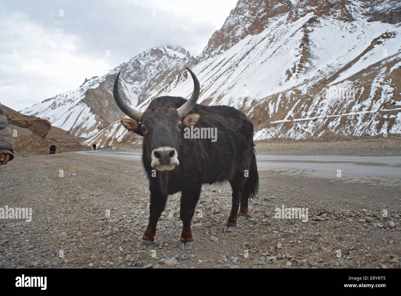 Himalayan yak poephagus grunniens ; Ladakh ; Jammu and Kashmir ; India 10 April 2008 - Stock Image