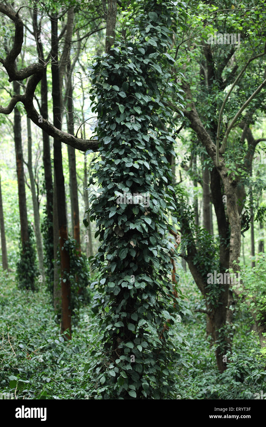Silver oak trees with pepper vines and coffee shrubs growing at ananthagiri hills ; Araku valley ; Vishakhapatnam - Stock Image