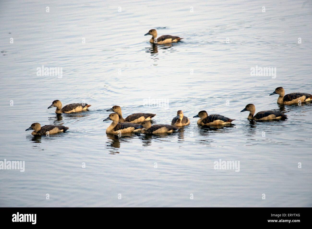Birds ; siberian lesser whistling ducks dendrocygna javanica in water in Santrgachhi lake ; Howrah ; West Bengal - Stock Image