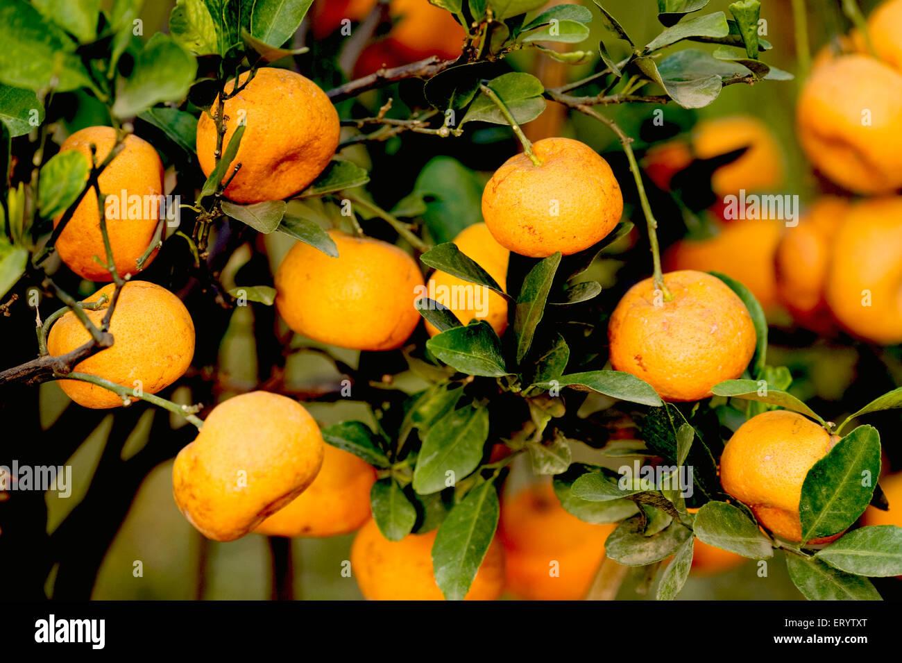 Fruits ; oranges hanging on tree ; Darjeeling ; West Bengal ; India - Stock Image