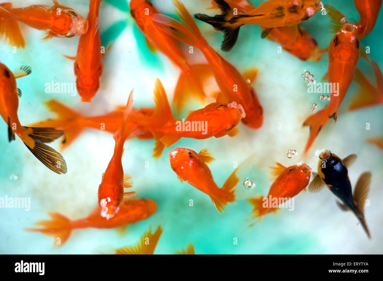 Aquarium Fish Cyprinidae Carassius Auratus Red Cap Oranda West