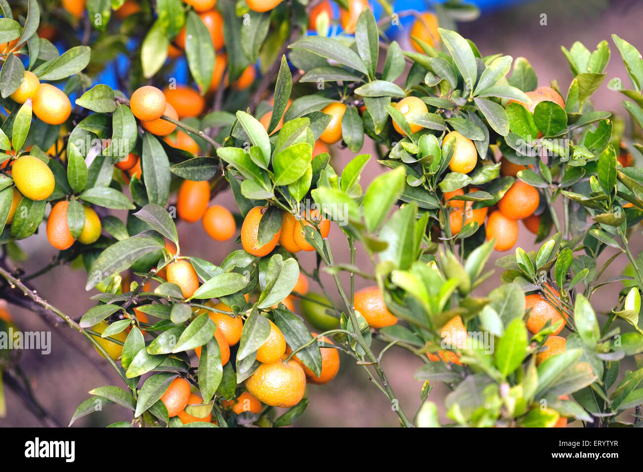 Fruits ; limes and oranges hanging on branch ; West Bengal ; India - Stock Image