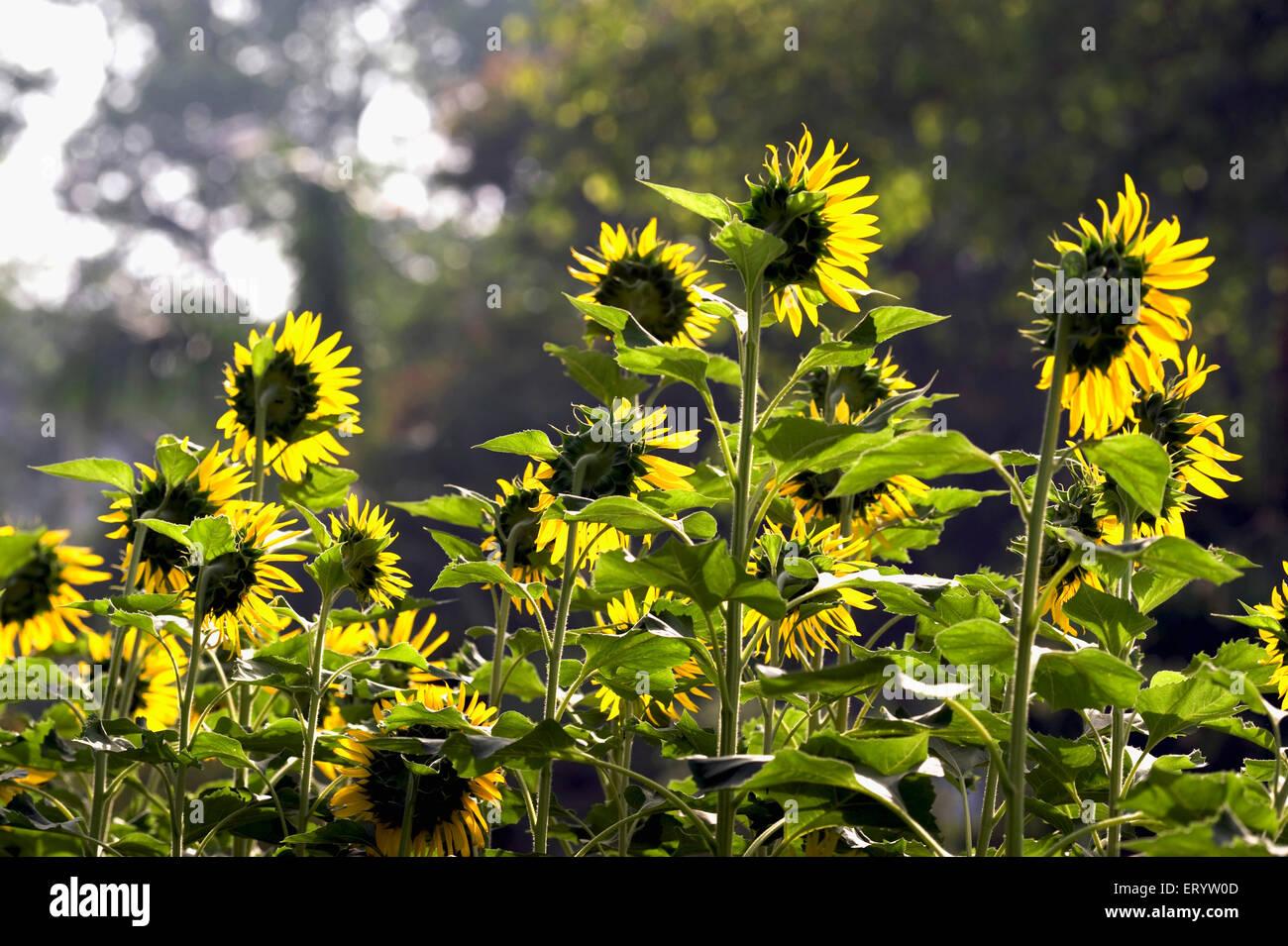 Backview of sunflowers ; Calcutta Kolkata ; West Bengal ; India - Stock Image