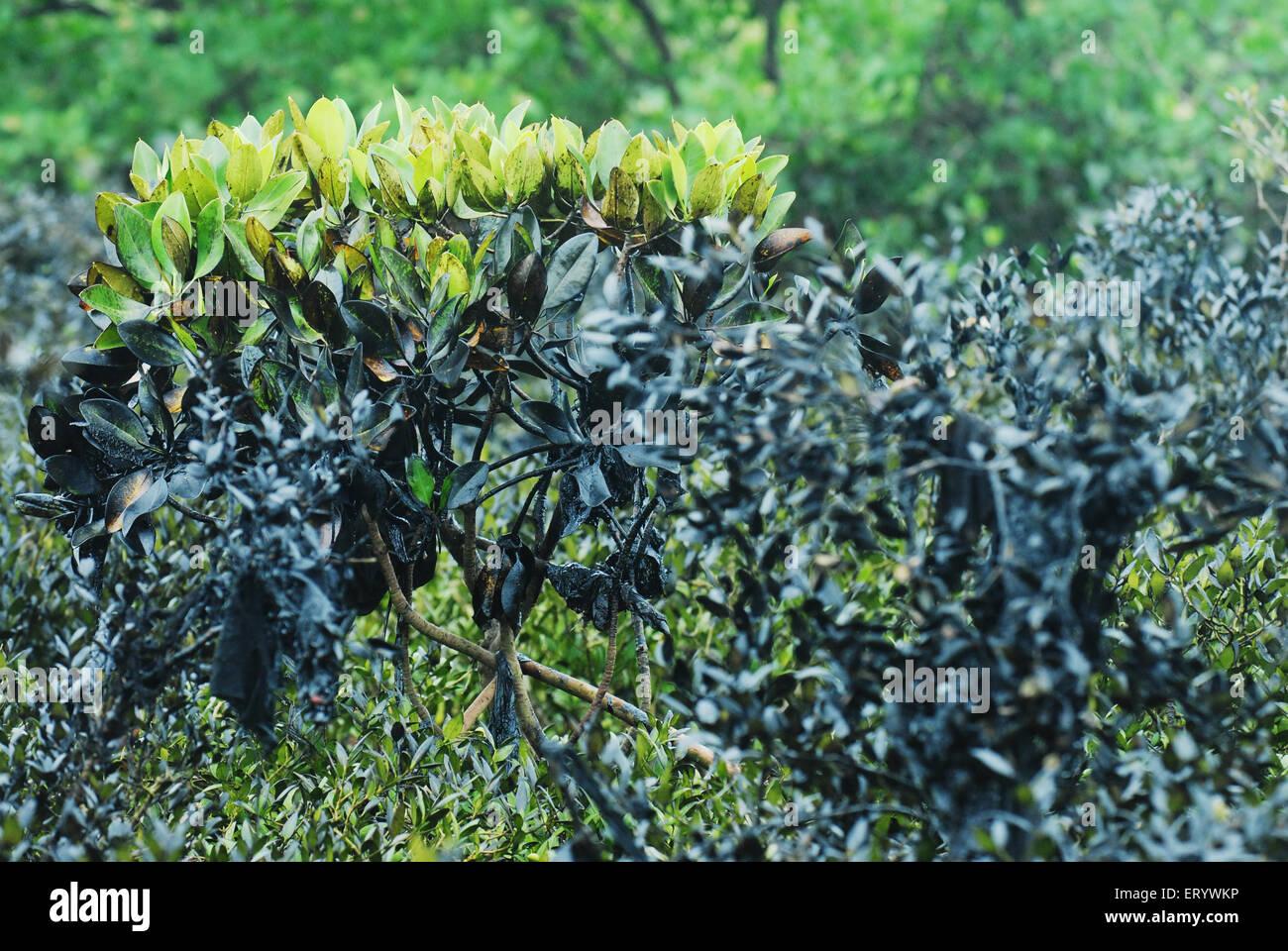 Mangroves affected by oil spill at ins kunjali ; Colaba; Bombay Mumbai ; Maharashtra ; India - Stock Image