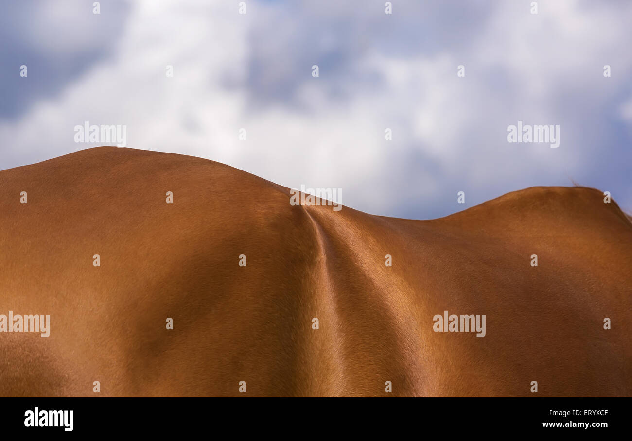 Close up of sorrel horse body against blue sky - Stock Image