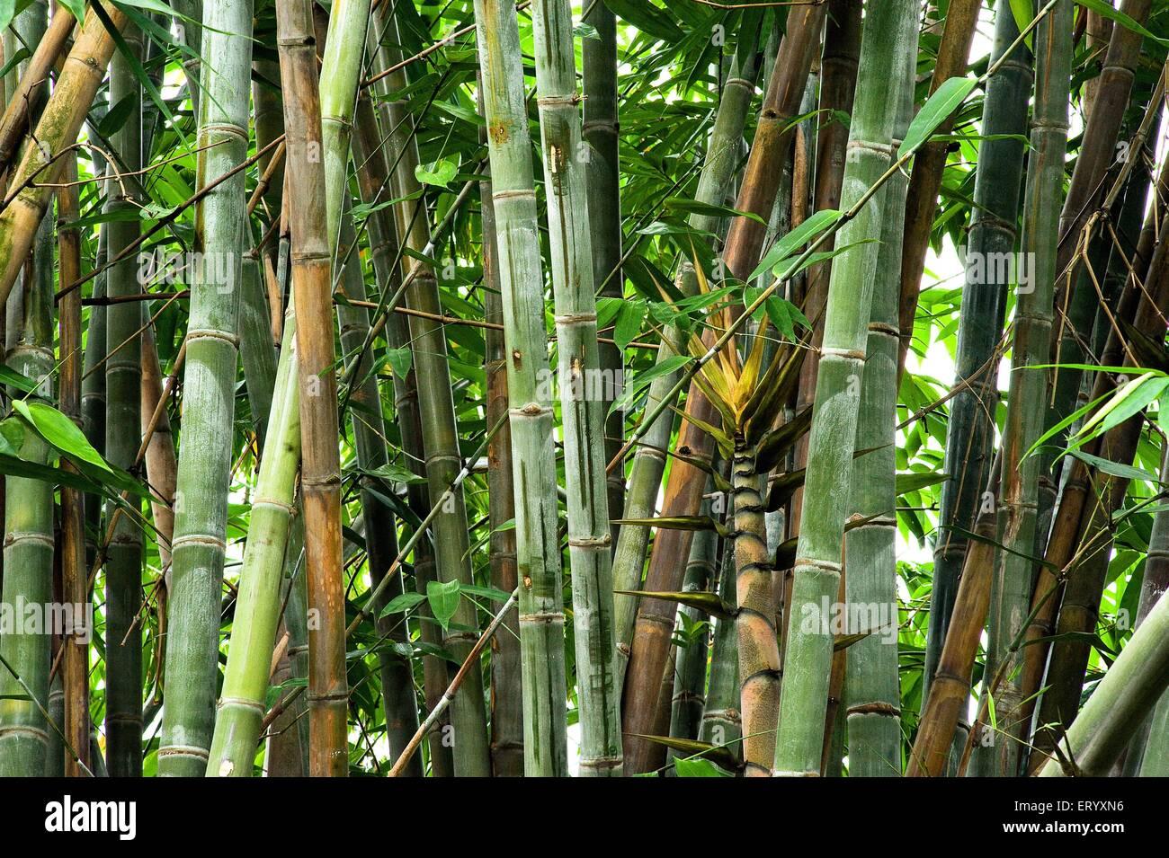 Clamp of bamboo botanical garden ; shibpur ; Calcutta Kolkata ; west Bengal ; India - Stock Image