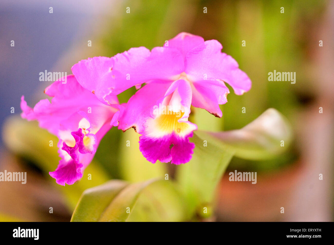 Flower specimen terete leaved Vanda orchid ; Calcutta ; West Bengal ; India - Stock Image