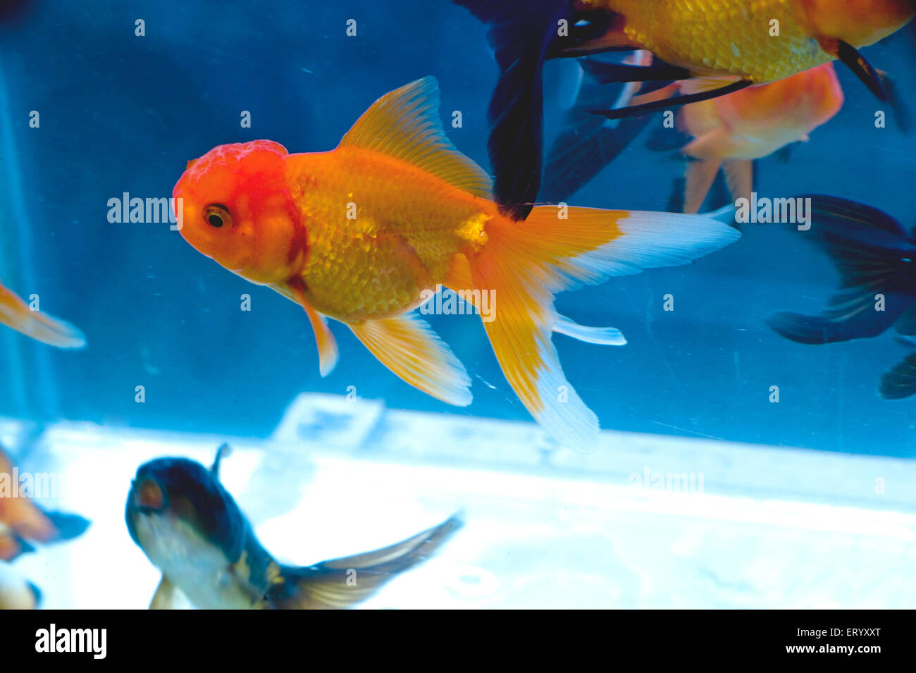 Red ranchu and moore fishes - Stock Image