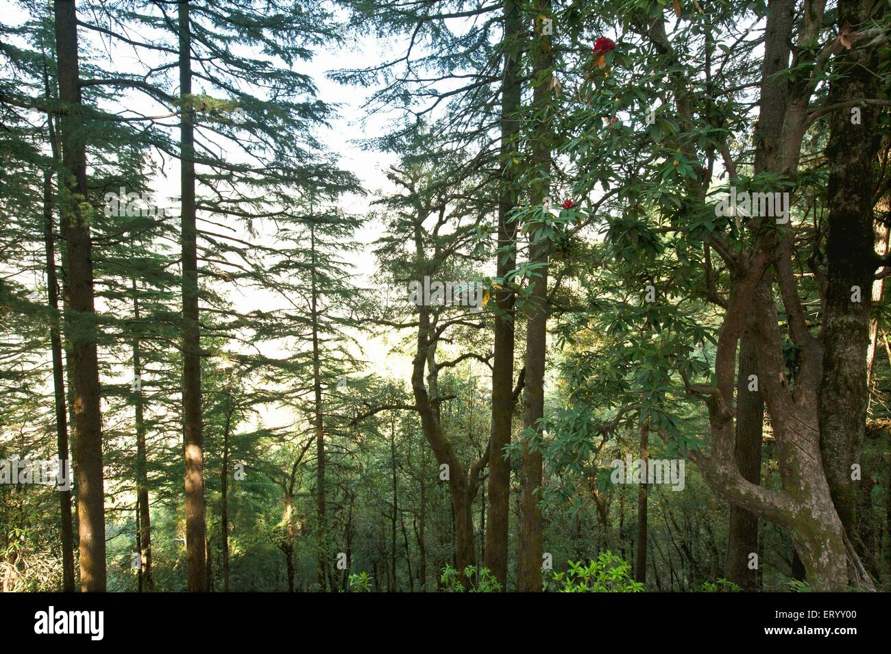 Pine tree forest at dhanaulti Uttaranchal Uttarakhand India - Stock Image