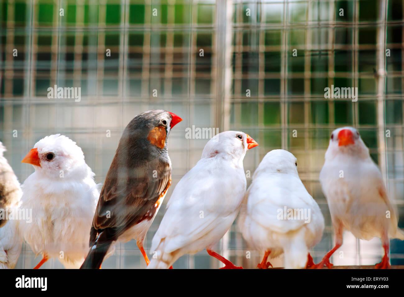 Aviary bird common wax bills - Stock Image