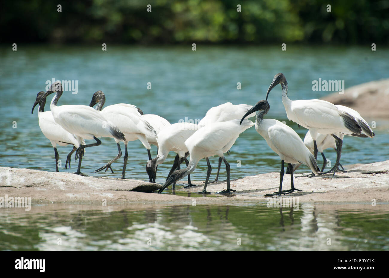 Migratory birds ibis on rock in ranganathittu bird sanctuary at mysore ; Karnataka ; India - Stock Image