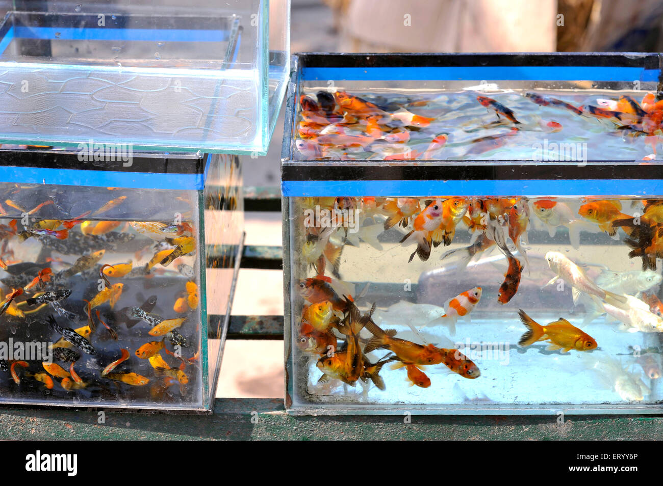 Hectic activity amongst aquarium fishes with the arrival of the summer in Kolkata India - Stock Image