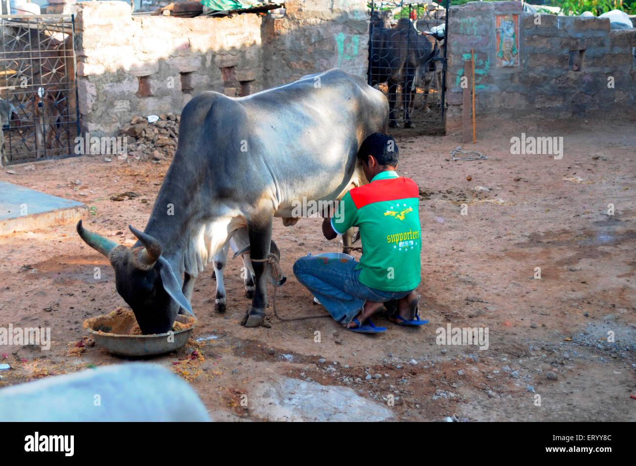 Man milking cow  ; Bhuj  ; Kutch  ; Gujarat  ; India MR#771G - Stock Image