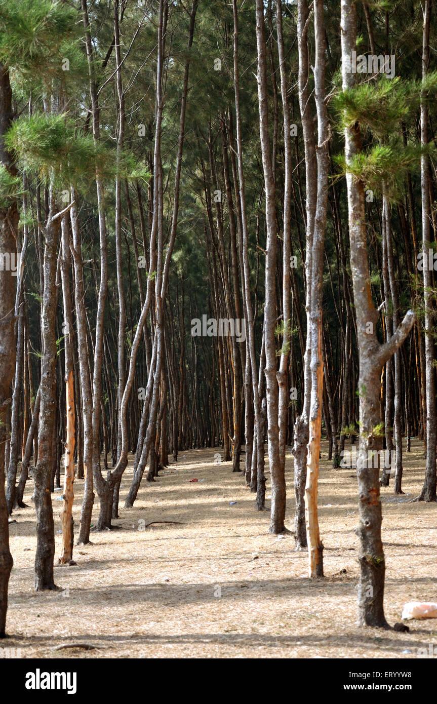 Casuarina tree at digha ; West Bengal ; India - Stock Image