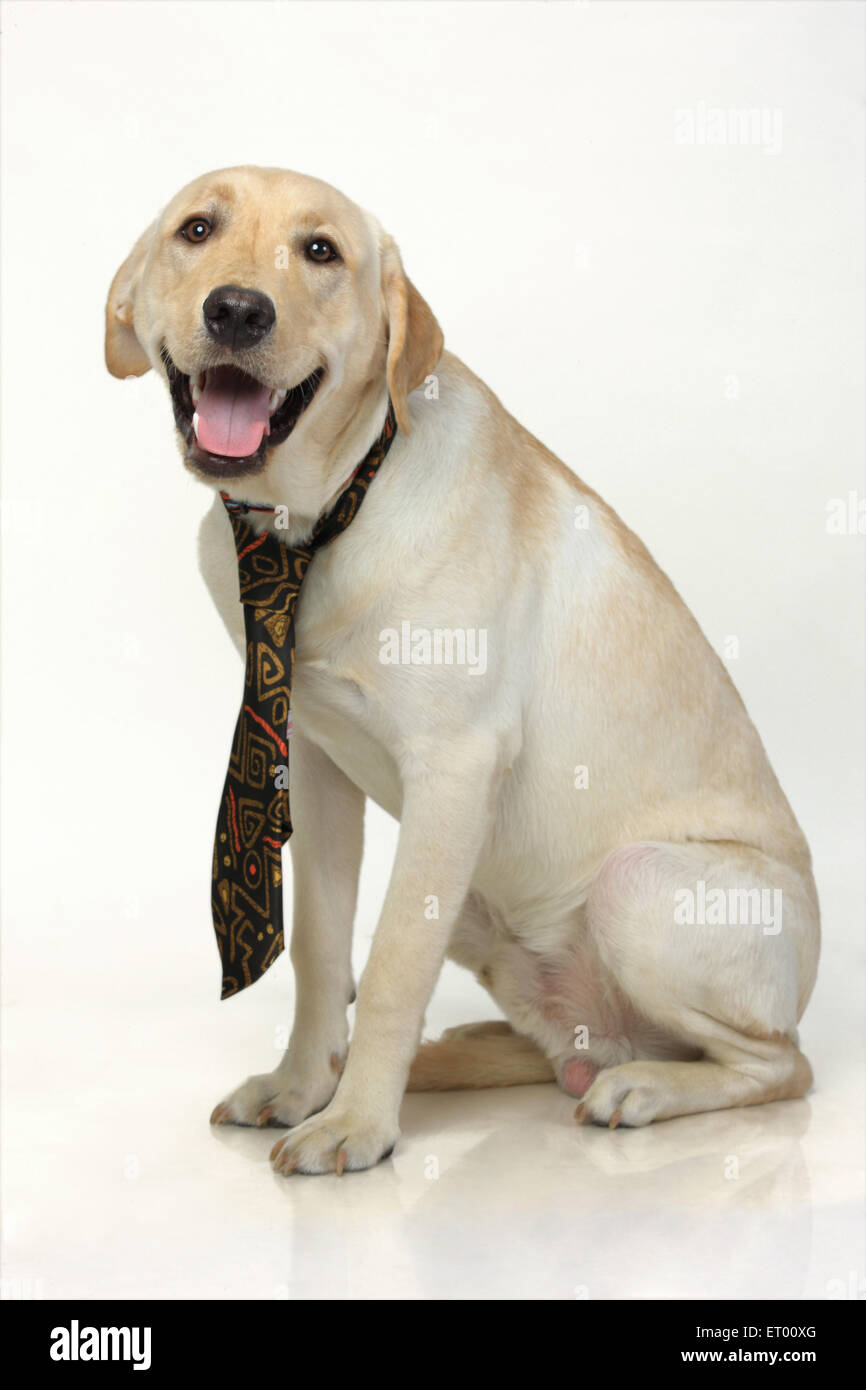 Labrador retriever yellow male ; tied up ; Graduated ; India - Stock Image