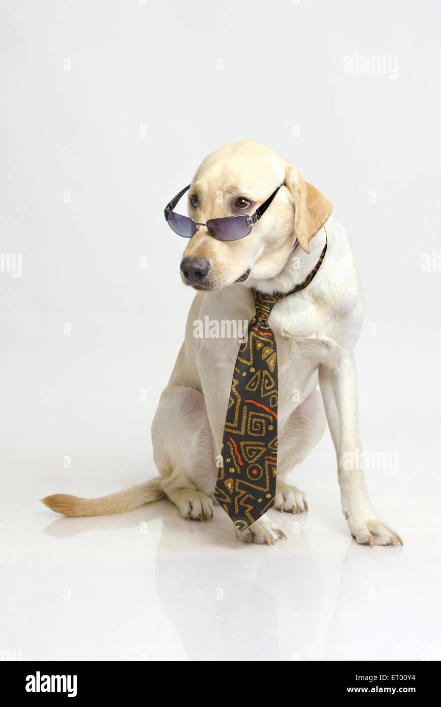 Labrador retriever yellow male ; interesting ; listening ; India - Stock Image