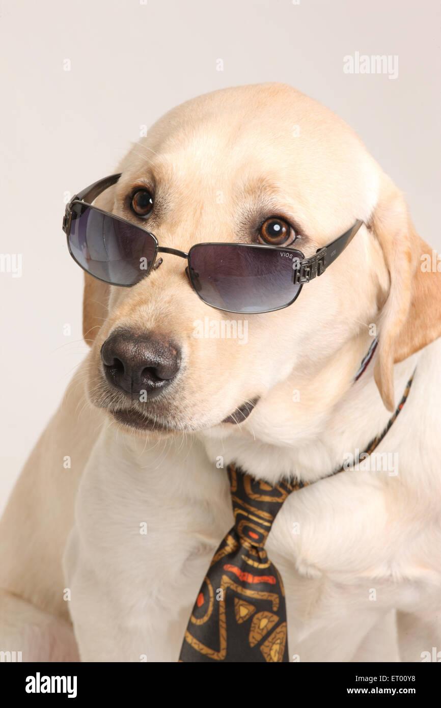 Labrador retriever yellow male ; unbelievable ; surprise ; India - Stock Image