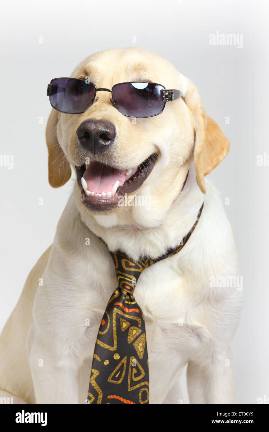 Labrador retriever yellow male ; humorous ; funny - Stock Image