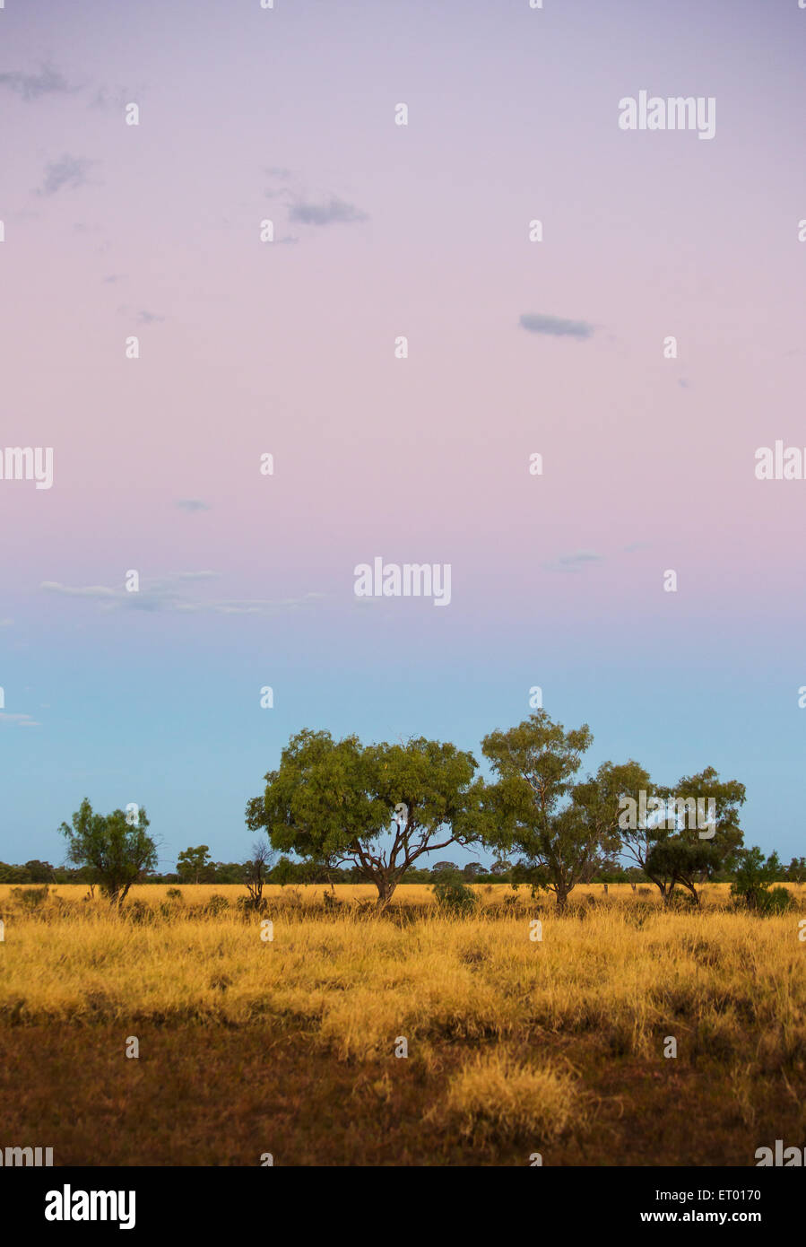 Eucayptus Trees and grassland at sunset in the Australian outback, near Longreach, Queensland - Stock Image