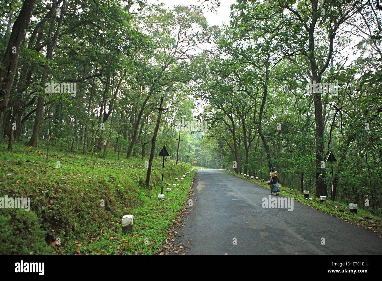 Trees planting sides of road at Periyar tiger reserve ; Thekkadi ; Kerala ; India - Stock Image