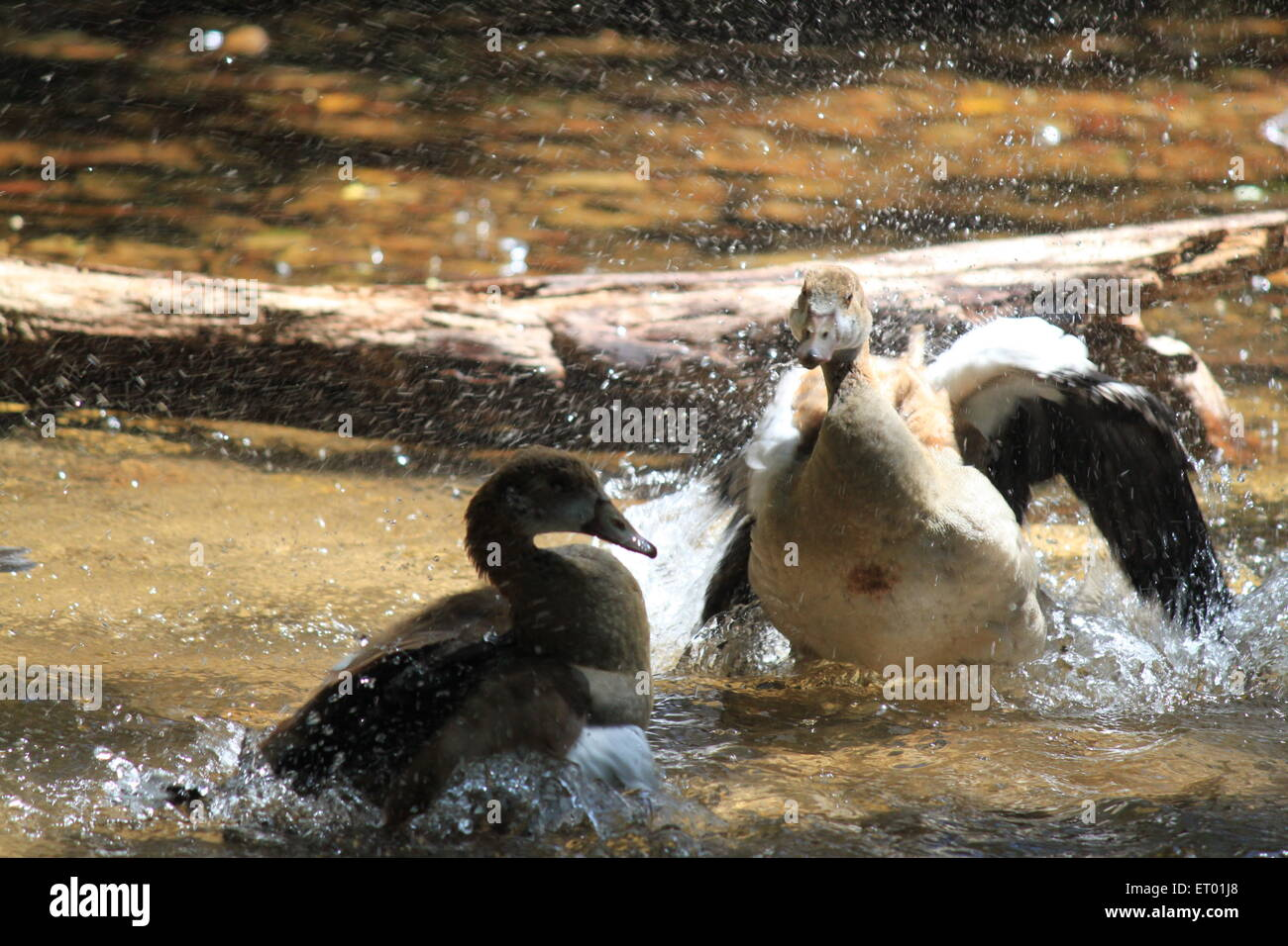 Duck bathing aggression - Stock Image