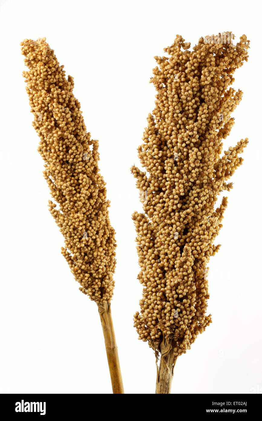 Jowar Sorghum bicolour food grains from Maharashtra India Stock Photo