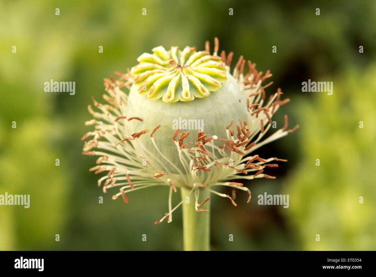 Poppy flower bulb  ; Neemuch ; Madhya Pradesh ; India Stock Photo