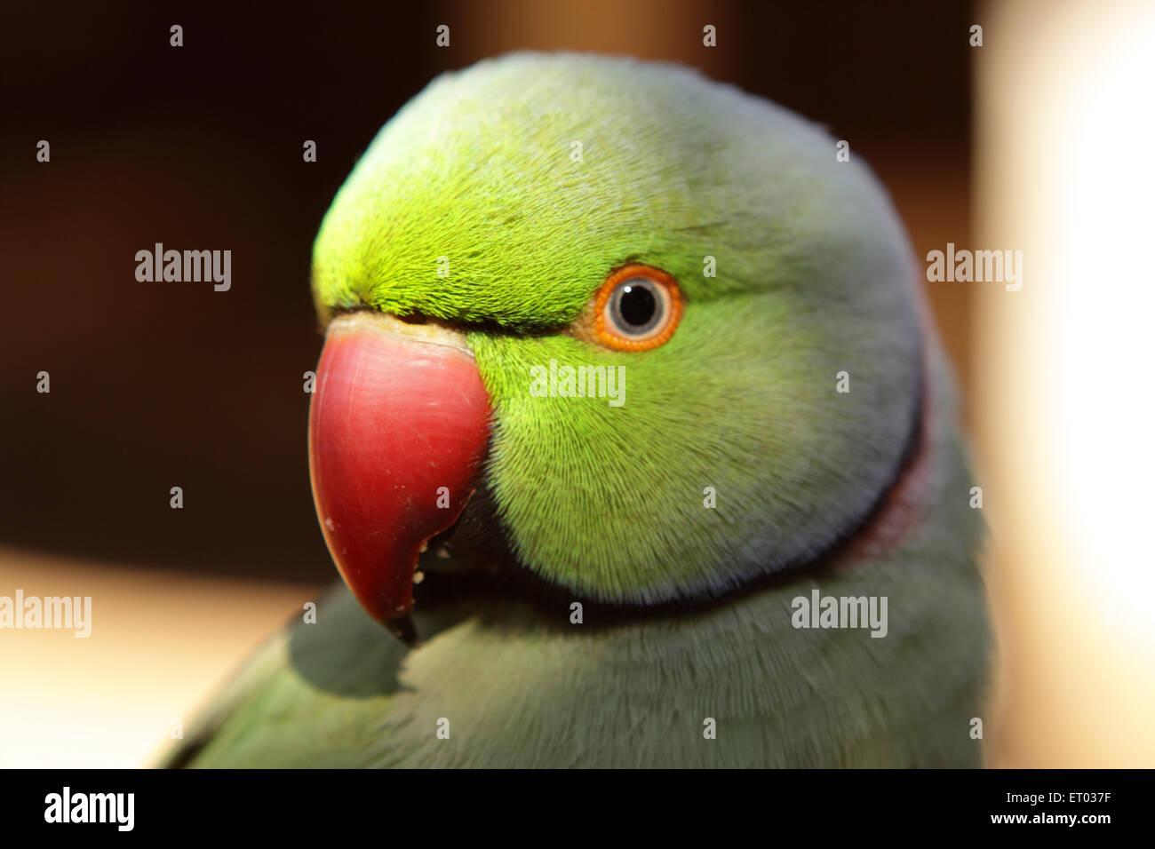 Rose ringed parakeet bird psittacula krameri  ; Nadiad ; Gujarat ; India - Stock Image
