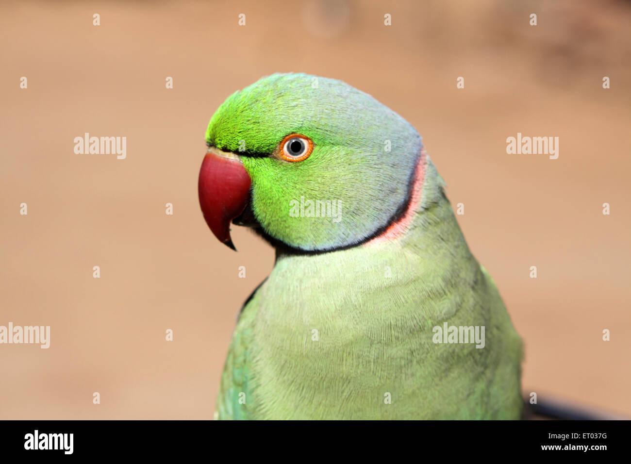 Birds parrot ; rose ringed parakeet ; psittacula krameri  ; Nadiad ; Gujarat ; India ; Asia Stock Photo