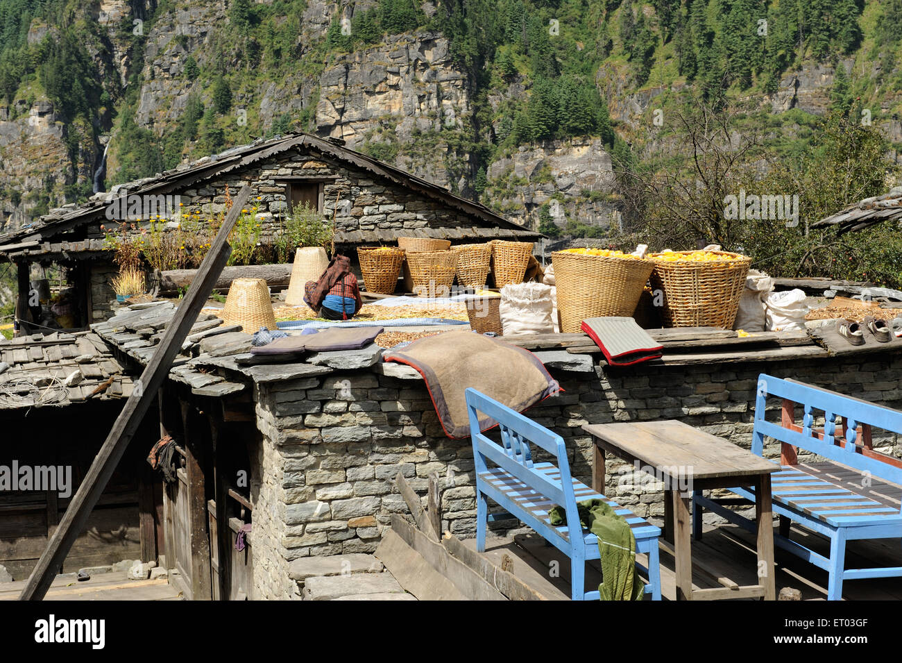 Lady drying pulse on roof ; Koto ; Nepal - Stock Image