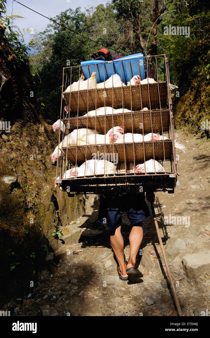 Porter carrying hens in cage ; Ghoripani ; Nepal - Stock Image