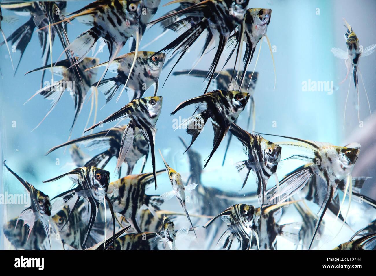 Freshwater angel fish in aquarium ; Calcutta Kolkata ; West Bengal ; India 14 October 2009 - Stock Image