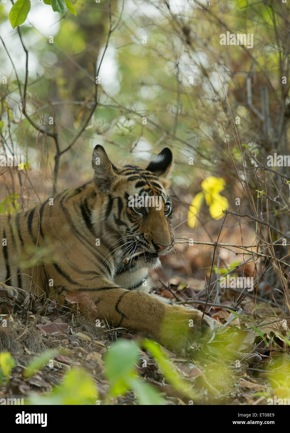 Portrait of a Royal Bengal Tiger in Bandhavgarh National Park - Stock Image