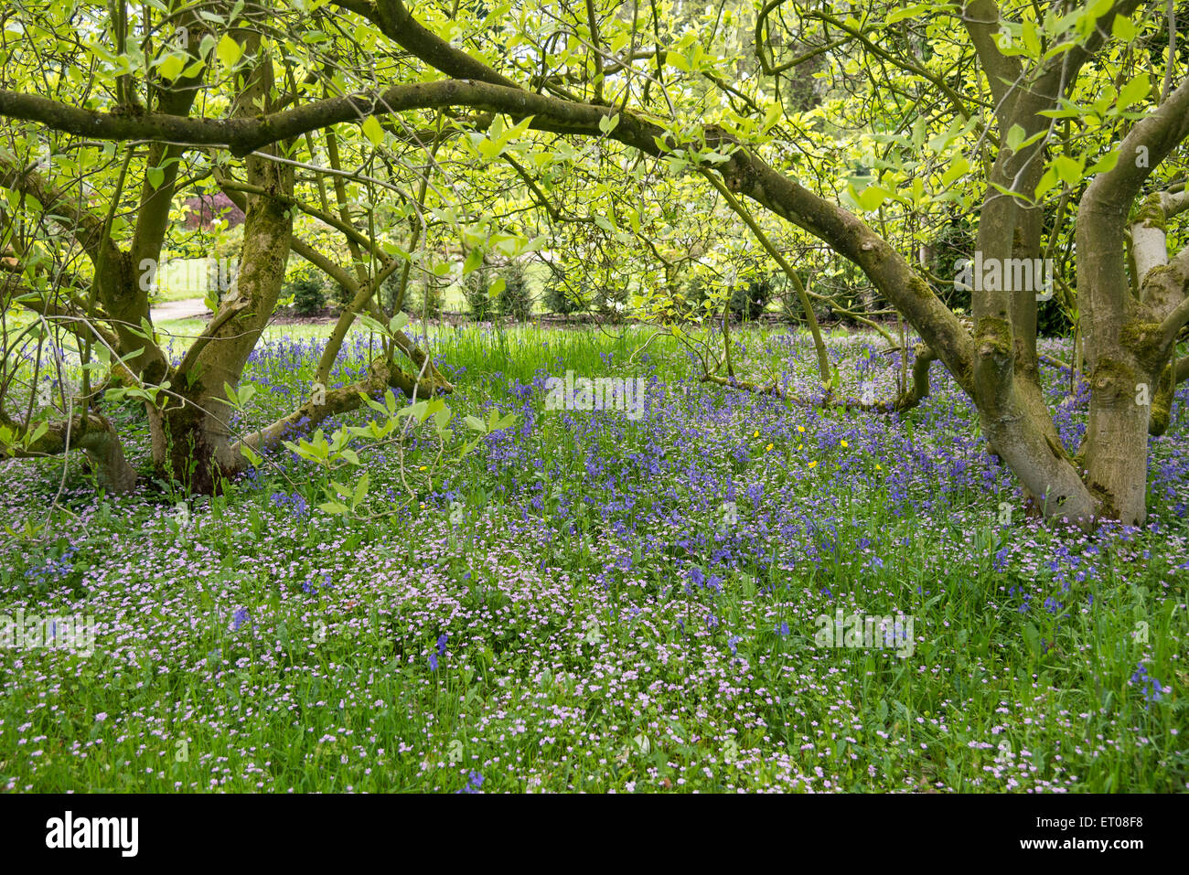 Claytonia And Bluebells Growing Beneath A Mature Magnolia Tree In
