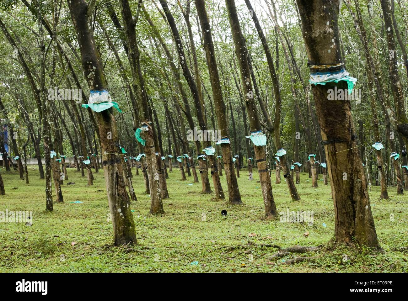 rubber cultivation in kerala