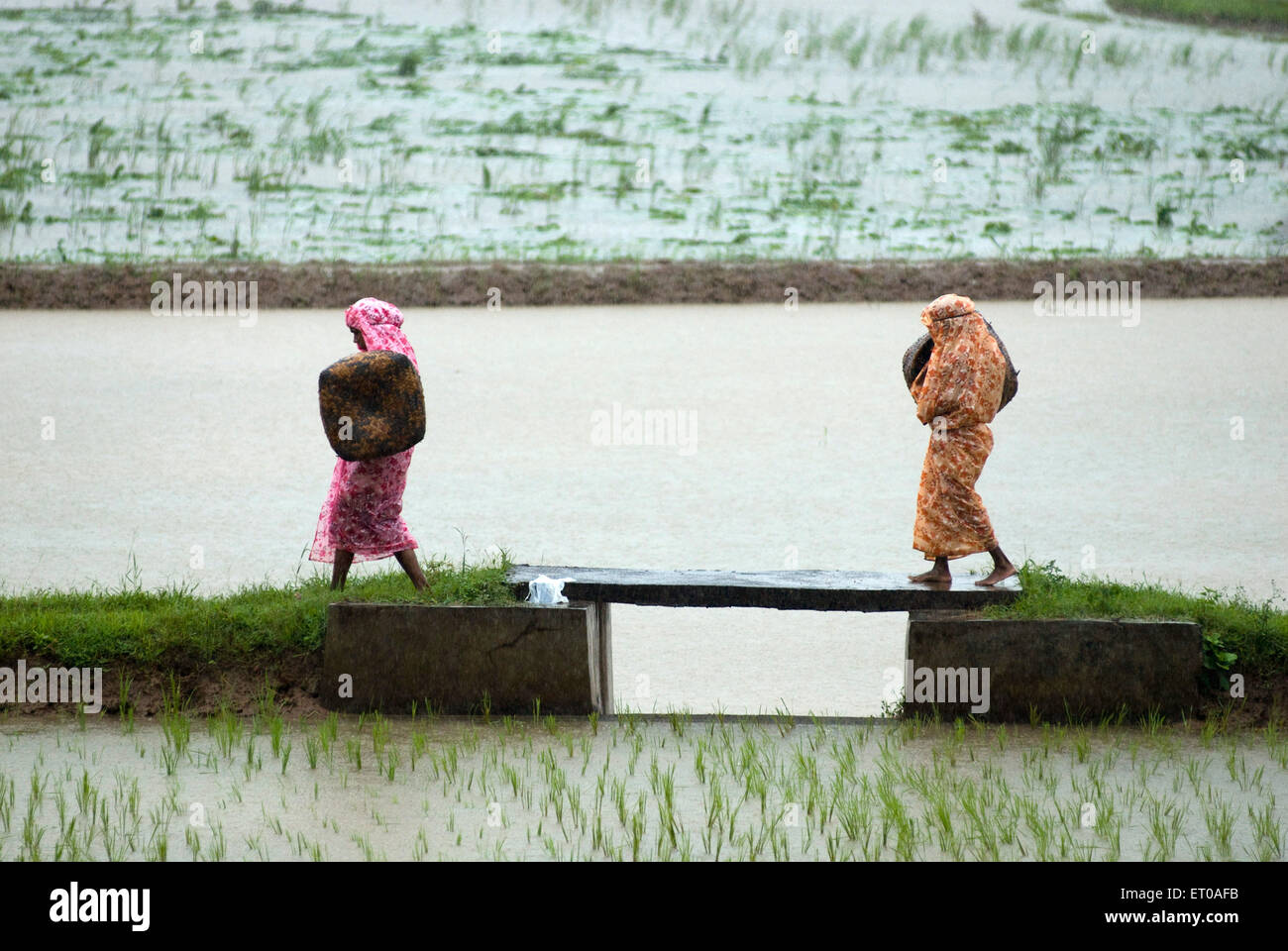 Farm workers in rice field during monsoon day near Palakkad ; Kerala ; India - Stock Image
