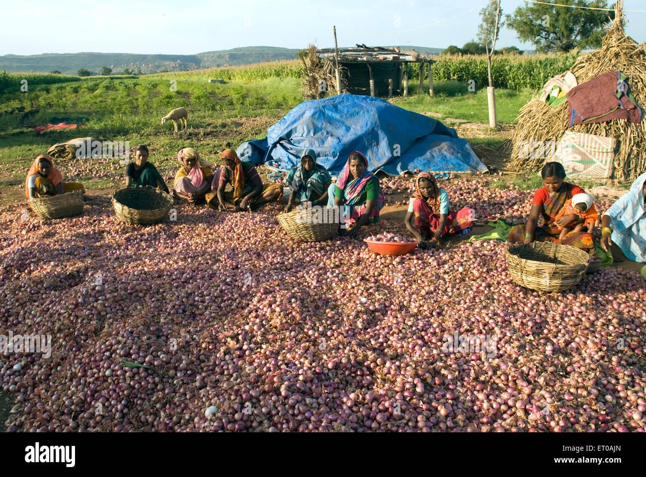 Grading the harvested onion near Pattadakal ; Karnataka ; India - Stock Image