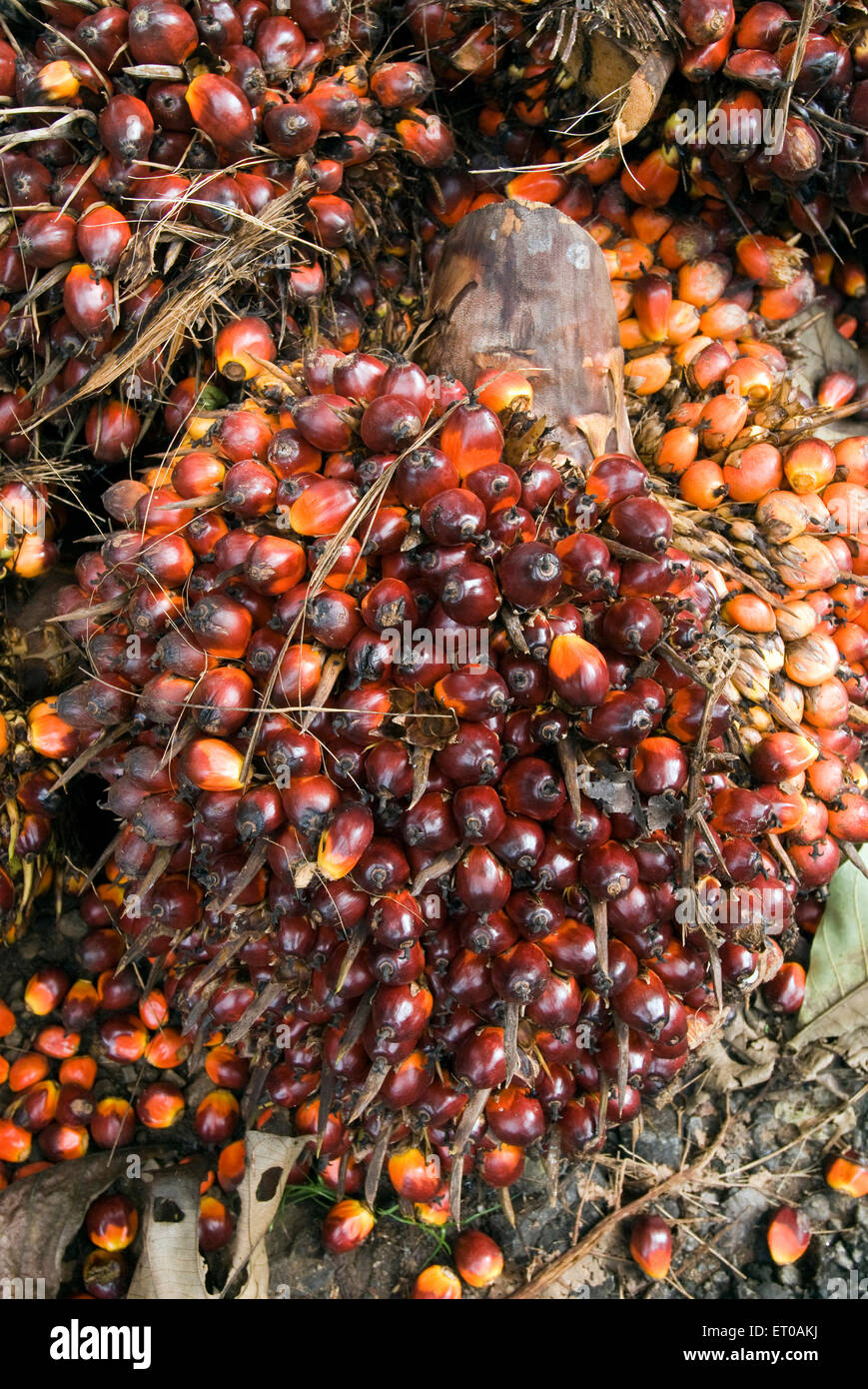 Reddish fruits of oil palms comprise two species of the Arecaceae ; Kerala ; India - Stock Image