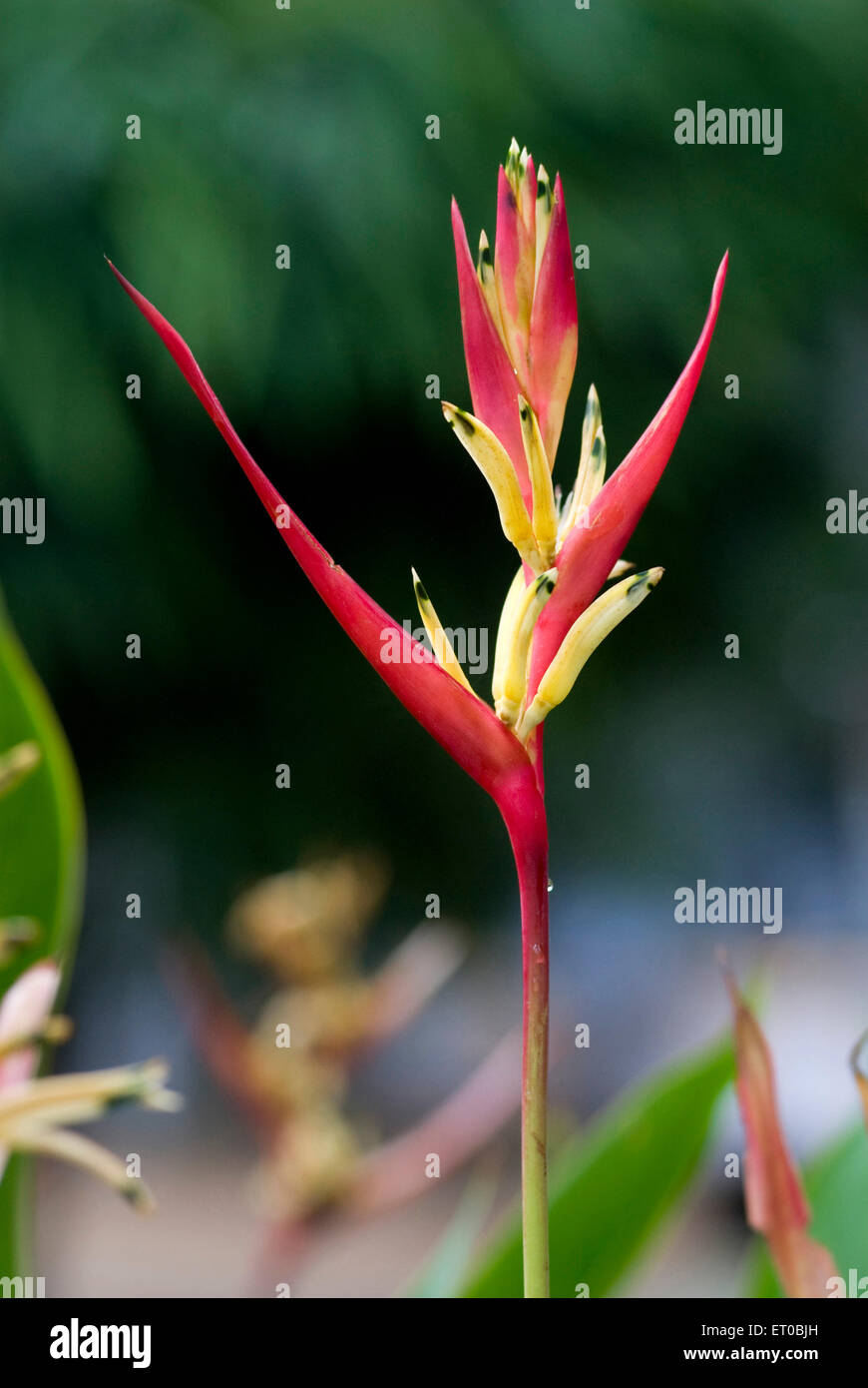 Heliconia psittacorum flower known parrot flowers ; Kerala ; India - Stock Image