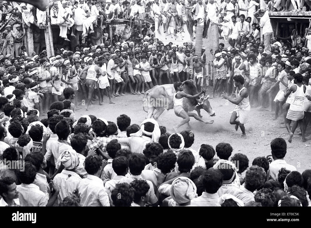 Jallikattu bull taming during Pongal festival at Alanganallur near Madurai ; Tamil Nadu ; India - Stock Image