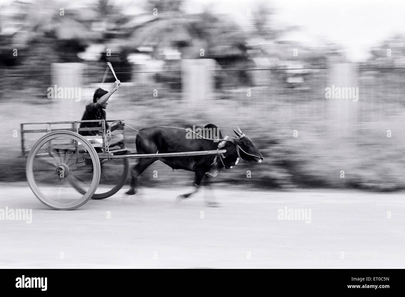 Bullock cart race near Palakkad ; Kerala ; India - Stock Image