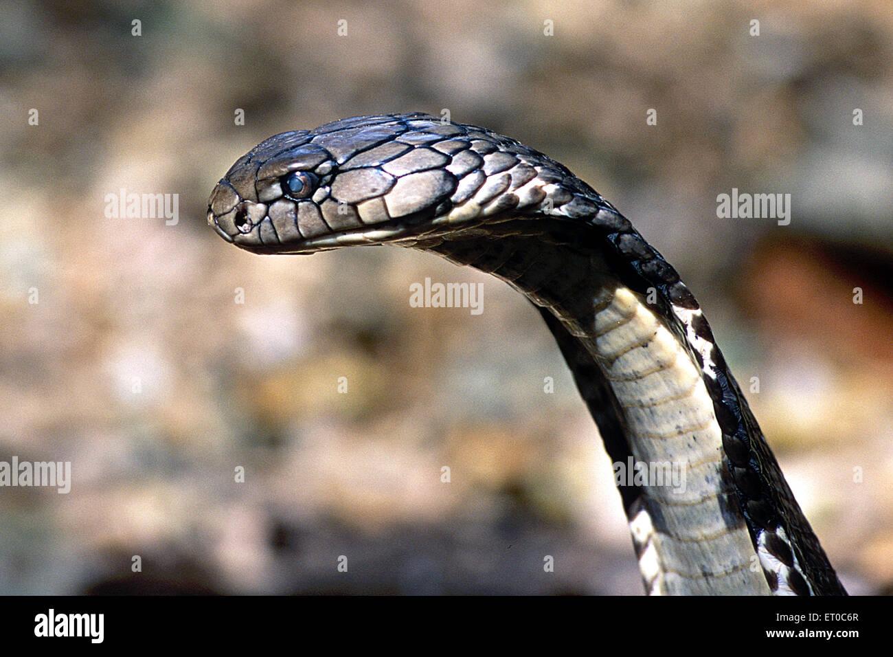 Reptiles ; King cobra ophiophagus hannah longest venomous snake eater ; Karnataka ; India - Stock Image