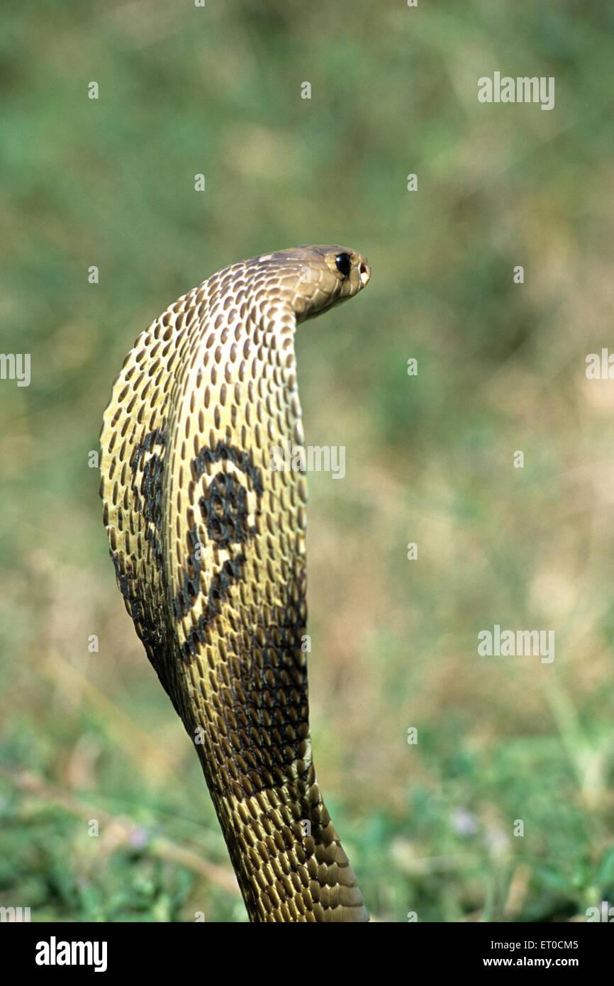 Snake ; Indian spectacled cobra naja naja naja - Stock Image