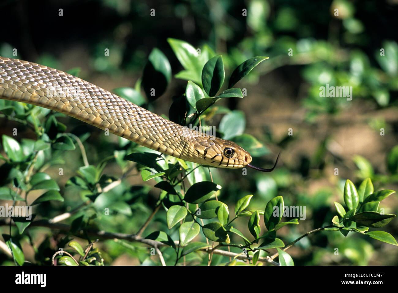 Rat snake ptyas mucosus - Stock Image