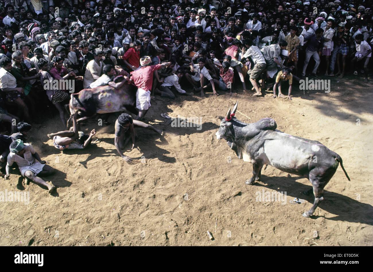 Jallikattu , sallikkattu , manju virattu , eru thazhuvuthal  , bull taming festival at Alanganallur near Madurai - Stock Image