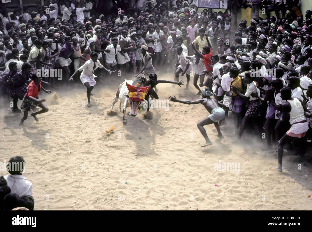 Jallikattu bull taming at Alanganallur near Madurai Tamil Nadu India - Stock Image