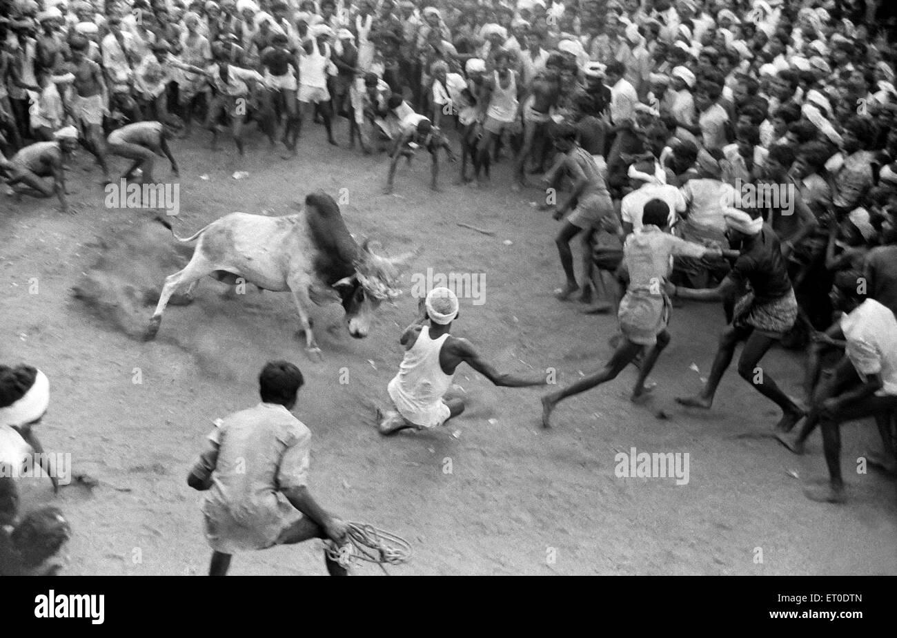 Jallikattu bull taming during pongal festival ; Alanganallur ; Madurai ; Tamil Nadu ; India - Stock Image